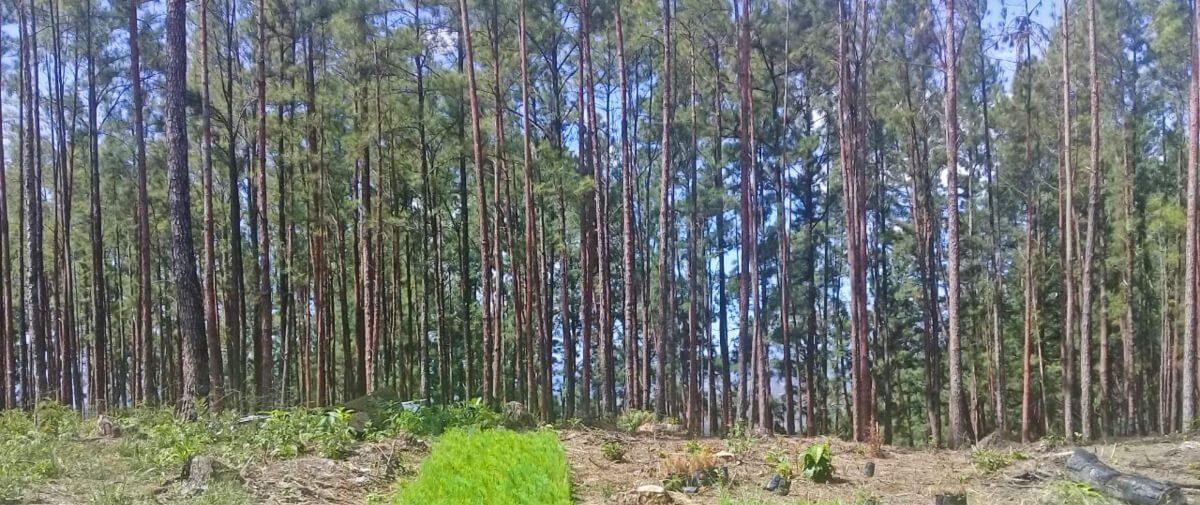 """Granja Santa Elena : """"Pinos para la Yeguada"""" Hacia un manejo comunitario forestal sostenible"""