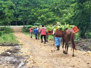 Entrega De Plantas De Cacao