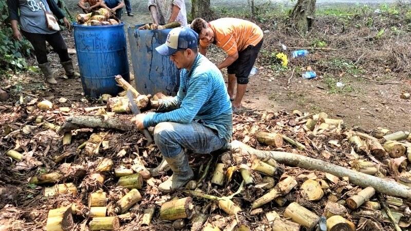 Preparación de semilla de plátano para siembra