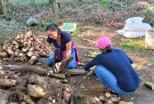 Jóvenes preparando la semilla de plátano para siembra