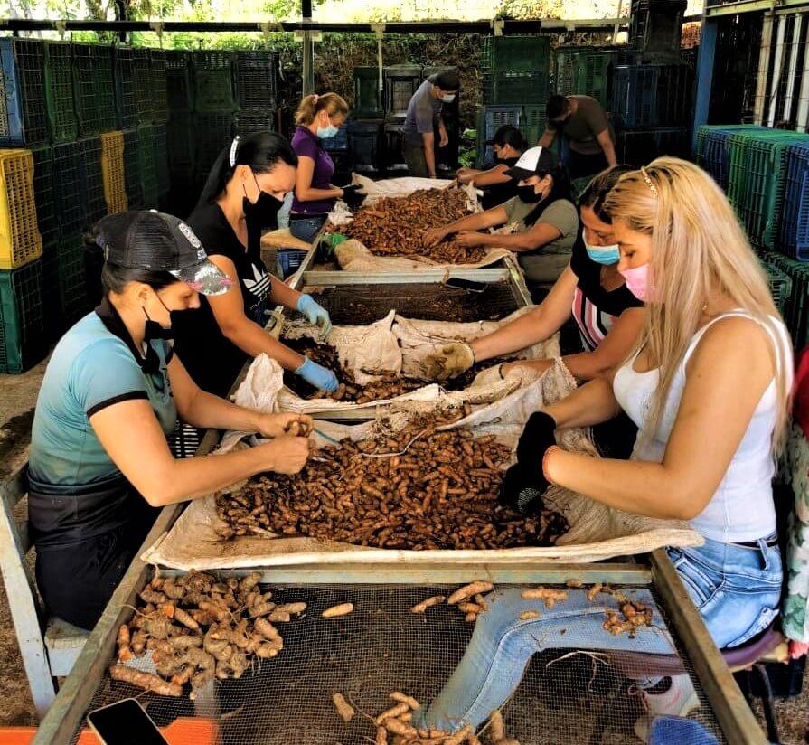 Mujeres trabajando en la selección de cúrcuma