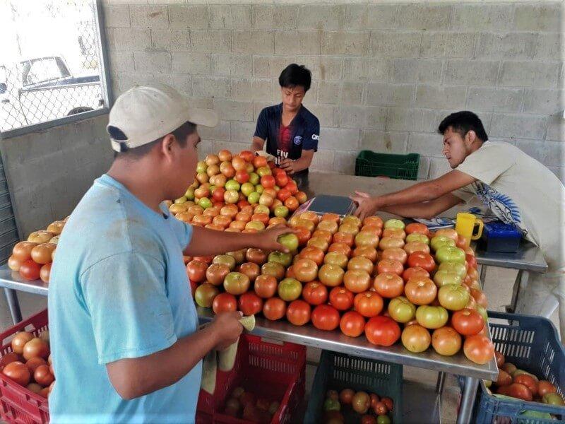 Selección de tomate para la venta