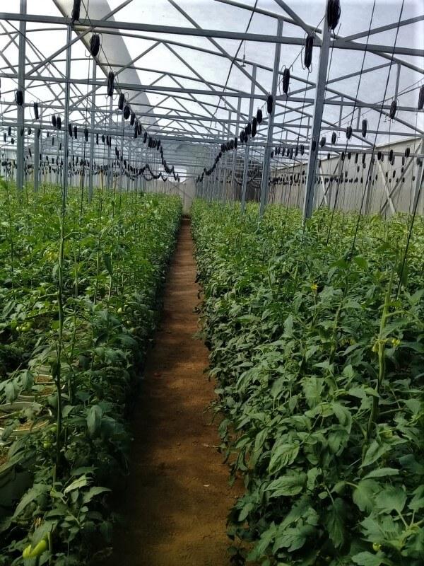 Invernadero cultivado con tomate