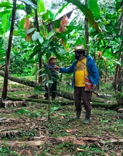 Productor, mostrando las nuevas plantaciones de cacao